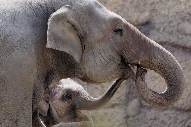 Omysha heute: Die Einjährige spielt mit ihrer grossen Schwester und Betreuerin Chandra im Zoo Zürich.