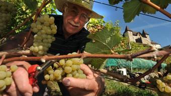 Joseph Müller freut sich: Der warme und trockene Herbst sorgt in der lokalen Weinbauszene für einen Spitzenjahrgang 2009.
