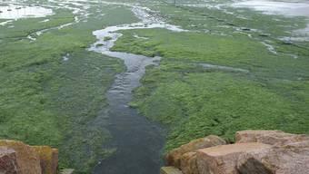 Auch die Algen mögen den warmen Frühling - in der Bretagne wachsen sie zu einer Pest heran (Symbolbild)
