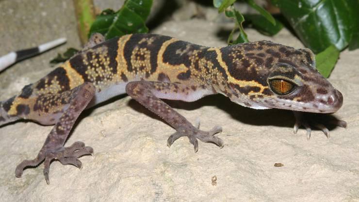 Der Cat Ba Leopardgecko kommt nur im Cat Ba Island Nationalpark in Nordvietnam vor, und ist vom Aussterben bedroht.