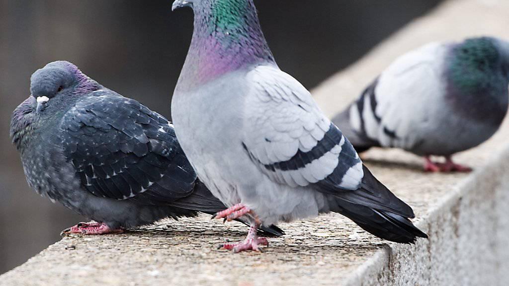 Eine ungewöhnliche Idee: Tauben sollen in London künftig Luftschadstoffe messen. (Archiv)