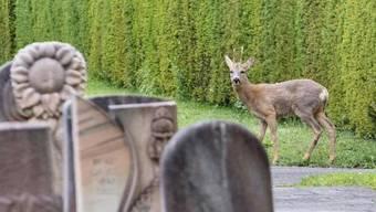 Ein Reh auf dem Basler Friedhof Hörnli. Weil ihr Bestand zu gross geworden sein soll, ist der Abschuss einzelner Rehe geplant. Dieser wird jetzt aber aufgeschoben.