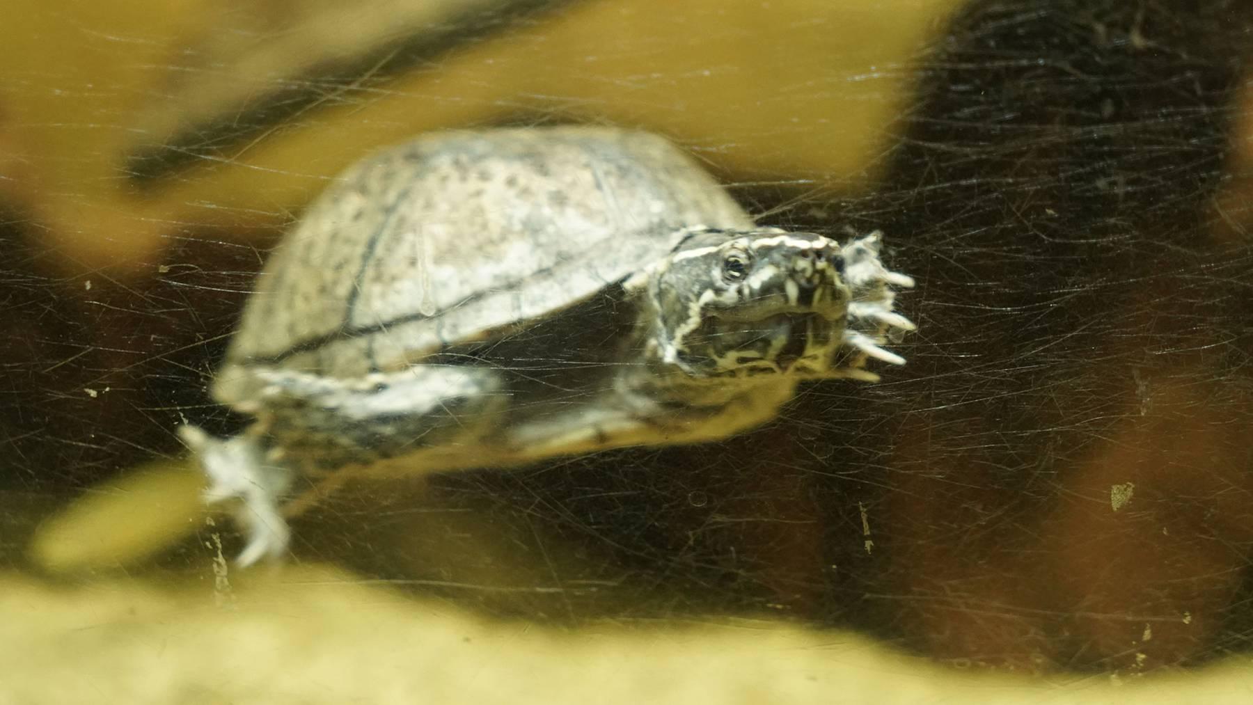Moschusschildkröte / Wasserschildkröte