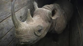 Eines der elf Nashörner, die in Kenia umgesiedelt wurden und dann wegen zu stark salzhaltigem Wasser verendeten.