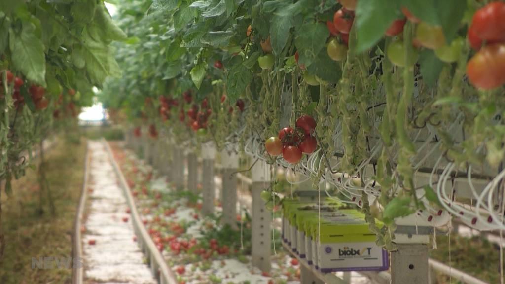 Bauern kämpfen mit dem Sommer 2021: Durchnässte Böden und zu wenig Sonnenschein