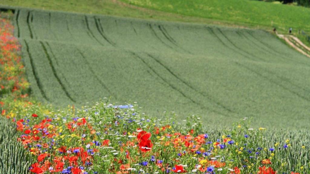 Blühstreifen sehen nicht nur schön aus, sondern reduzieren auch den Schädlingsbefall des benachbarten Winterweizens. (Handout)