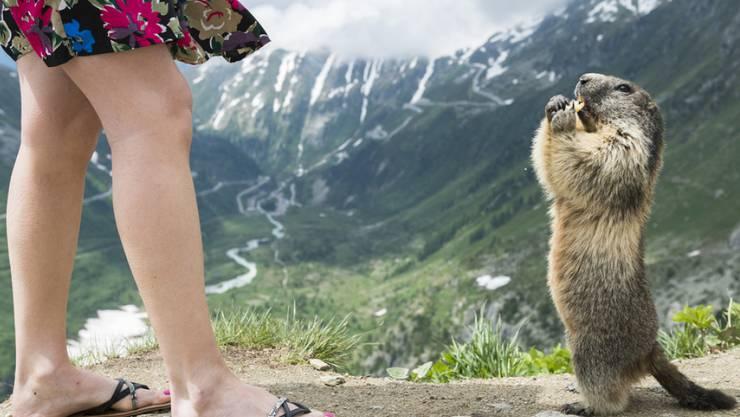 In manchen Walliser Ferienorten sind Murmeltiere eine Touristenattraktion. Sind sie zu zahlreich, können die Tiere nach Ansicht der Behörden auch zu einem Problem werden. (Archiv)