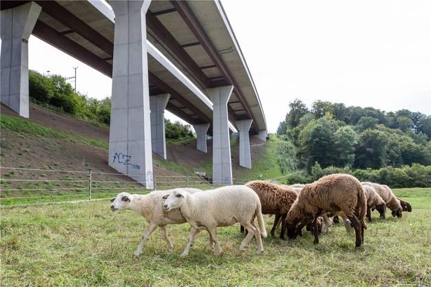 Am steilen Hang unter der Autobahnbrücke in Othmarsingen hielten sich in den vergangenen Tagen die Schafe von Christian Fluri auf.