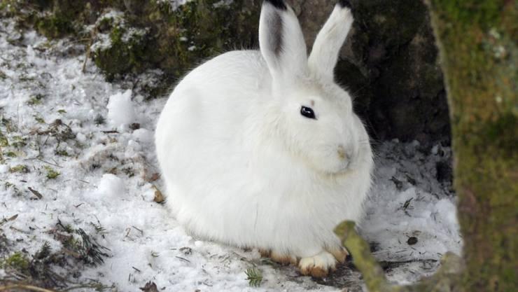 Der zunehmende Schneesport abseits der Pisten bedeutet für Schneehasen und andere Wildtiere Stress. Nun sollen Wildruhezonen besser gekennzeichnet werden.