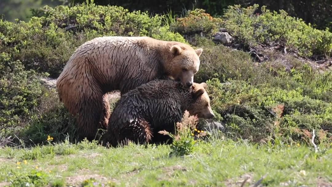 Arosa-Bären: Napa und Amelia schmusen erstmals
