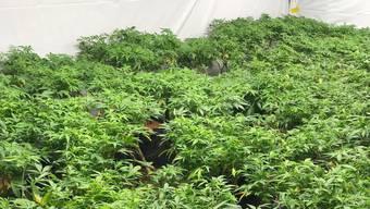 Die Kantonspolizei fand über 28 Mutterpflanzen.