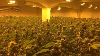 Cannabis, so weit das Auge reicht. 1200 erntereife Pflanzen hat die Kantonspolizei sichergestellt.