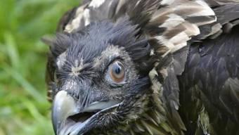 Das jüngst in Obwalden ausgewilderte Bartgeierweibchen, ist tot. Kurz nach seinem Erstflug wurde der Jungvogel in der Nacht auf Samstag von einer Böe erfasst. Daraufhin stürzte er vermutlich in die Tiefe.