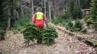 Weihnachtsbäume-Fällen auf der Forstplantage Leberberg in Selzach. (Archiv)