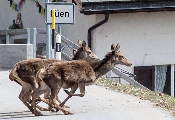 Zwei Hirschkühe überqueren in Lüen die Strasse.