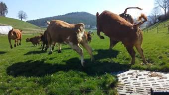 Jedes Jahr ein einmaliger Moment: Wenn die Kühe vom Lindenhof und ihre Kälber zum ersten Mal auf die Weide dürfen.