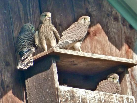 Die Turmfalken sind ihrem Nest bereits entklettert und ihr Jungfernflug steht kurz bevor