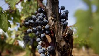 Griechischer Wein: In der Antike verbreitete sich das Wissen um die Weinproduktion von den Ägyptern und Phöniziern zu den Griechen und vor dort aus nach Italien. (Archiv)