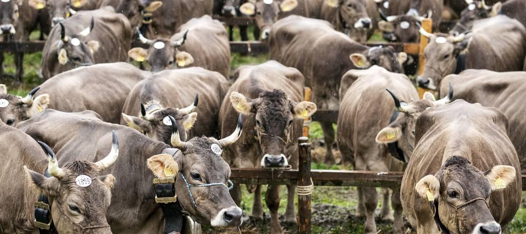 Sind es zu viele? Die Kühe sind schön anzusehen, wie hier an der Viehausstellung in Schwyz. Aber sie stossen klimaschädliches Methan aus. Bild: Keystone (23. September 2019,