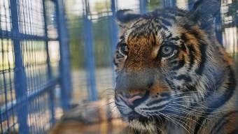 Zwei im Juli aus einem verwaisten Zoo in Aleppo gerettete, traumatisierte Tiger bekommen in den Niederlanden ein neues Zuhause. (Archivbild)