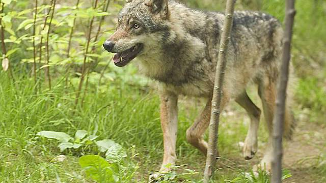 Wolfs-Weibchen im Zoo (Archiv)