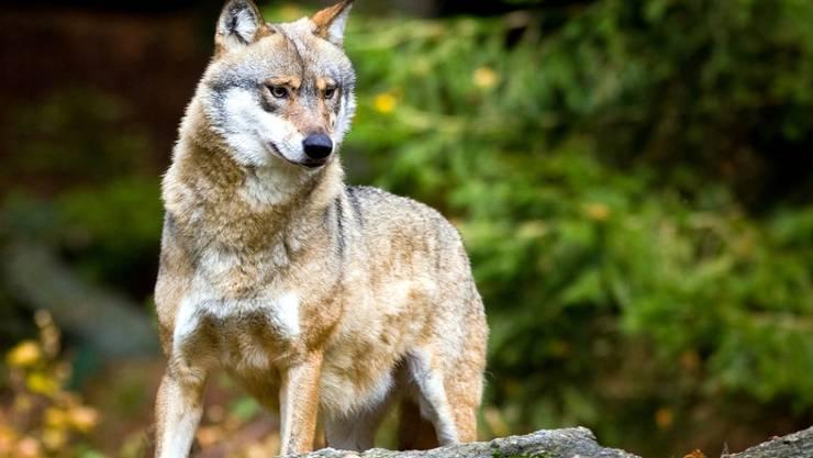 Doch der Wolf ist vermutlich nicht mehr im Kanton Zürich. (Symbolbild)