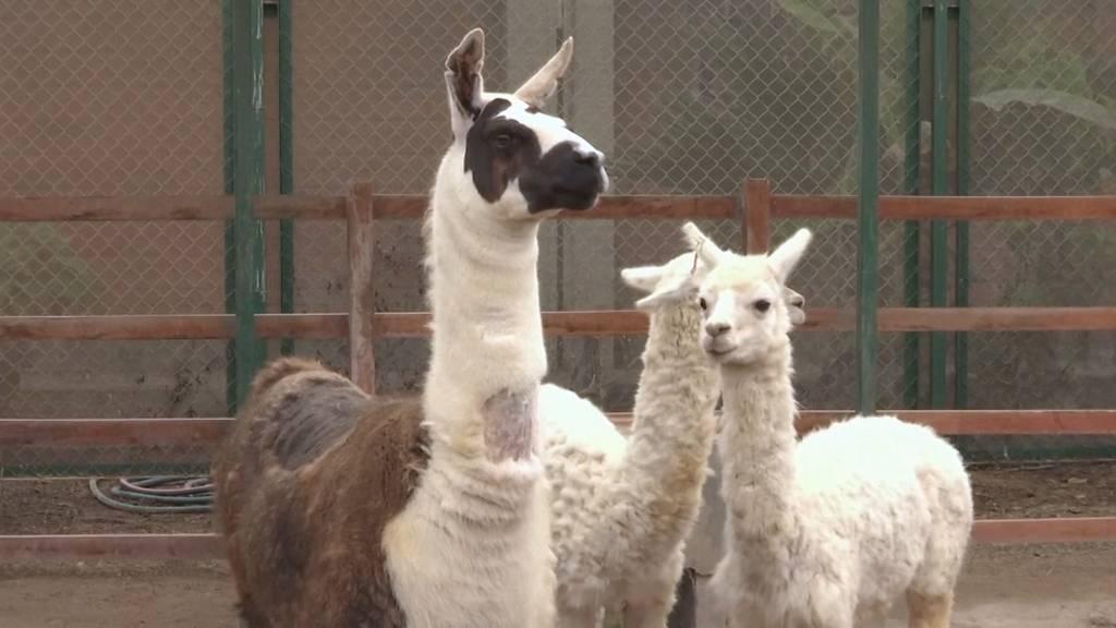 Lamas geben Hoffnung zur Bekämpfung des Coronavirus