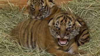 Die beiden neuen Tiger heissen Kate und William (Symbolbild)