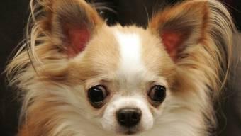 Weil er sich an einem Chihuahua vergangen hat, muss ein Wiederholungstäter zehn Jahre hinter Gitter (Symbolbild)