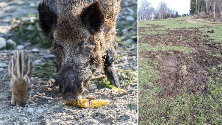 Die Baselbieter Bauern ärgern sich über die massiven Schäden, die die Wildschweine anrichten.