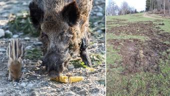 Wildschweine zerstören den Baselbieter Bauern das Land