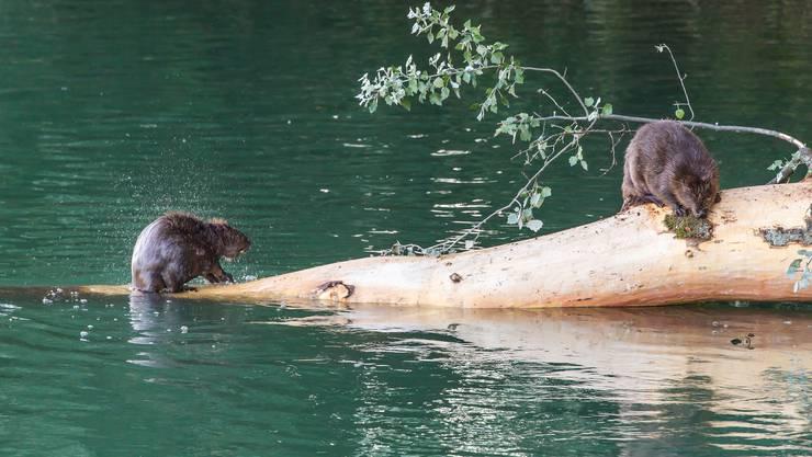 Wenn sich Biber tagsüber zeigen, wie hier bei der Zurlindeninsel Aarau im Sommer, finden das viele Leute herzig – wenn die Nager aber Dämme bauen und damit Landwirtschaftsland unter Wasser setzen, birgt das Konfliktpotenzial.