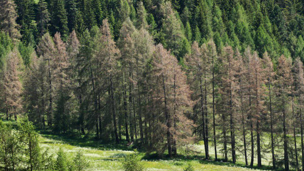 Herbstlich gefärbte Lärchen mitten im Sommer. Schuld ist der Graue Lärchenwickler, der sich dieses Jahr im Engadin wieder explosiv vermehrt und die Lärchen kahl frisst, wie hier in S-chanf. Die meisten Bäume erholen sich noch im gleichen Sommer wieder.