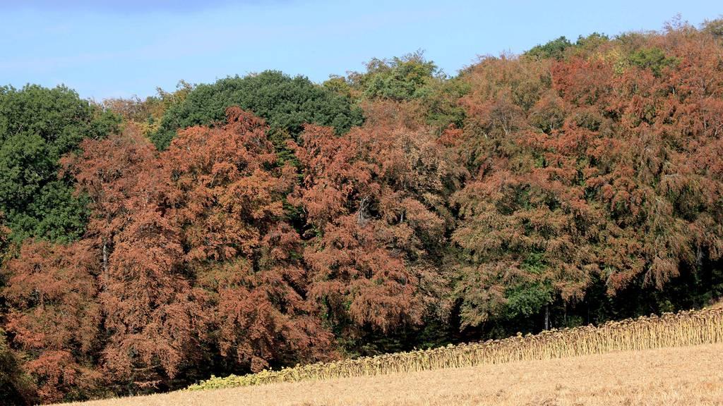Natur unter Stress: Klimawandel setzt Buchen an trockenen Standorten zu
