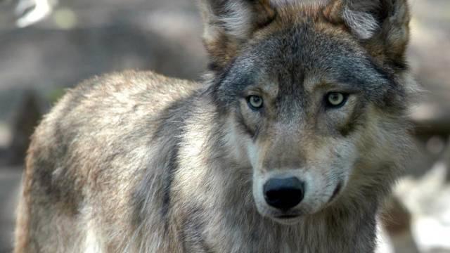 Der Wolf erobert kontinuierlich seinen ehemaligen Lebensraum zurück