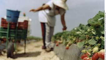 Eine Erntehelferin pflückt Erdbeeren auf einer Plantage in Huelva, Südspanien. Futh/laif