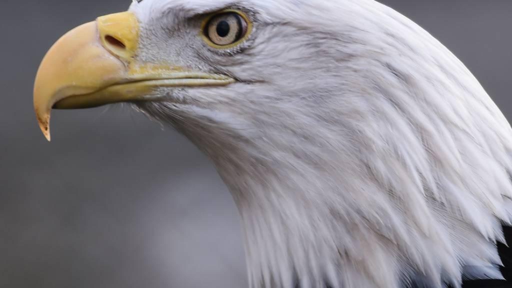 Weisskopfseeadler, das Wappentier der USA. Im Südosten der USA grassierte eine mysteriöse Krankheit, welcher die majestätischen Tiere zum Opfer fielen. Deutsche Forscher enträtselten die Ursache (Archivbild).