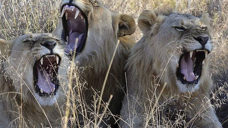 Zieht die Kritik von Tierschützern auf sich: Südafrika erlaubt den Export von bis zu 800 Löwenskeletten. (Archivbild)
