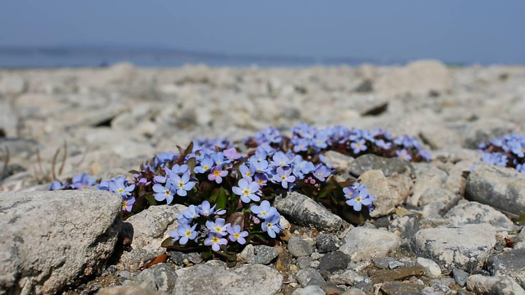 Das Bodensee-Vergissmeinnicht gilt hierzulande als stark gefährdet.