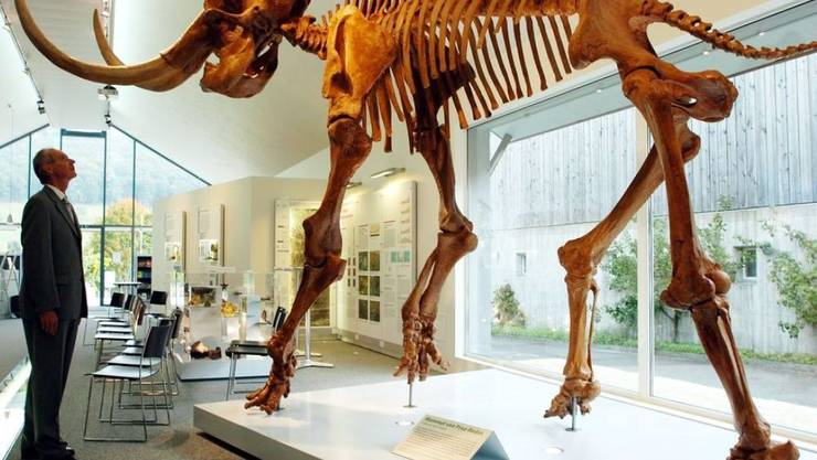 Nachbildung eines Mammut-Skeletts im Mammutmuseum in Niederweningen. Am Aussterben der letzten Exemplare war möglicherweise der Mensch schuld. Das Klima war's jedenfalls nicht. (Archivbild)