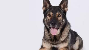 """Polizeihund """"Aryk von Firecatcher"""" spürte in einem Warenhaus in Wil SG einen Mann auf, der sich eingeschlichen und versteckt hatte."""