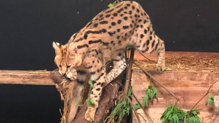 Der Serval hat im Berner Sikypark ein neues Zuhause gefunden.