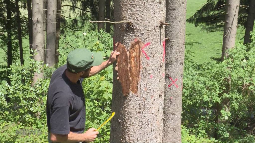 Perfekte Voraussetzungen für Borkenkäfer: Berner Wälder leider unter Wetterbedingungen