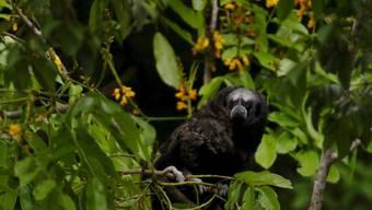 Bedrohte Arten sollen besser geschützt werden: Affe in Peru