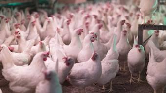 In der Hühnerzucht werden heute lebende Küken geschreddert, weil sie das falsche Geschlecht haben. Das soll nun verboten werden. (Archivbild)