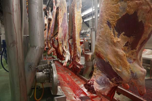 Frisch geschlachtete Rinder, bereits ohne Innereien, werden zersägt