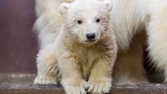 Das Berliner Eisbären-Baby Fritz ist krank - so schwer, dass die Tierparkleitung um sein Leben fürchtet. (Archiv)