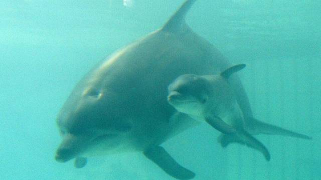 Delfine bleiben tagelang ununterbrochen wachsam (Archiv)