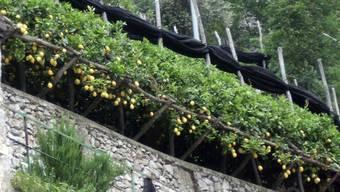 Zitronen-Pergola an der Amalfi-Küste.