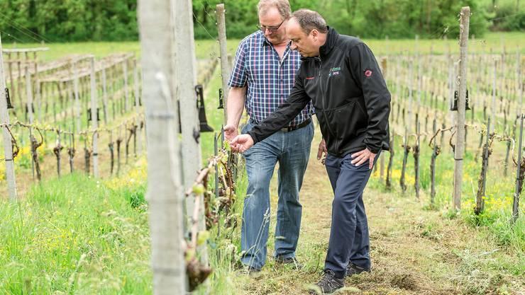 Der Remiger Winzer Bruno Hartmann (links) zeigt Regierungsrat Markus Dieth die Spuren, welche der Frost an seinen Reben hinterlassen hat.